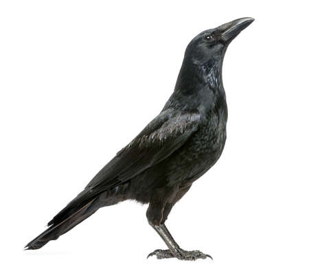 the crows: Side view of a Carrion Crow looking up, Corvus corone, isolated on white