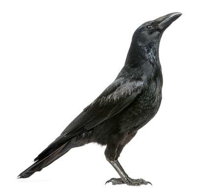 cuervo: Vista lateral de un Corneja negra mirando hacia arriba, Corvus corone, aislado en blanco Foto de archivo