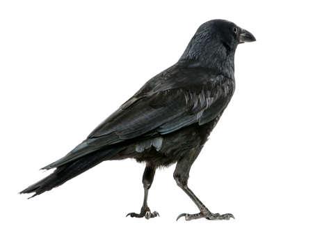 corvo imperiale: Vista posteriore di una Cornacchia, Corvus corone, isolato su bianco Archivio Fotografico