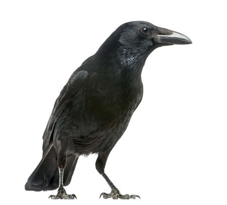 cuervo: Vista lateral de una corneja, Corvus corone, aislado en blanco