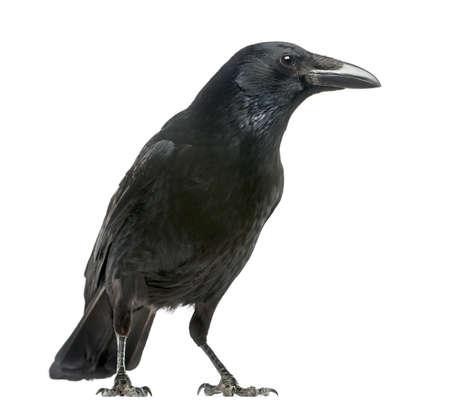 corbeau: Vue de c�t� d'un Corneille, Corvus corone, isol� sur blanc Banque d'images