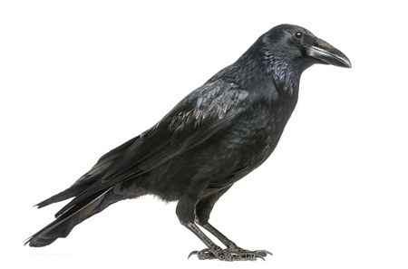 crow: Side view of a Carrion Crow, Corvus corone, isolated on white Stock Photo