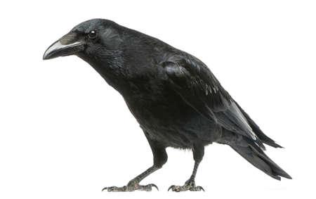 corvo imperiale: Carrion Crow con sguardo curioso, Corvus corone, isolato su bianco