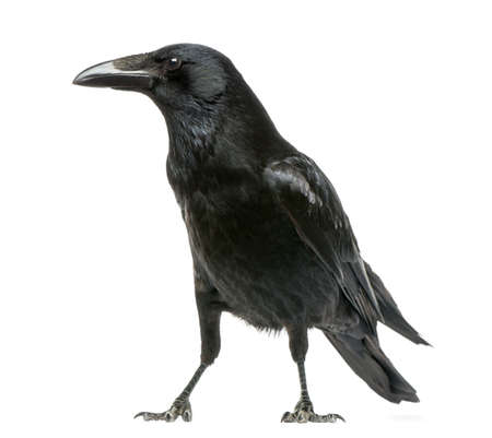 raven: Side view of a Carrion Crow, Corvus corone, isolated on white Stock Photo