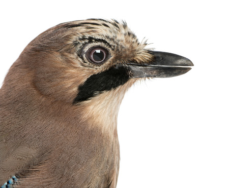 garrulus: Close-up of an Eurasian Jay, Garrulus glandarius, isolated on white