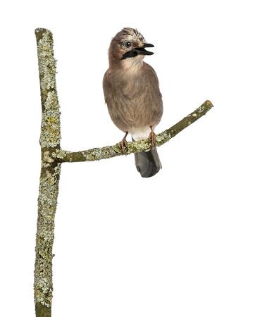 tweeting: Eurasian Jay perching on a branch tweeting, Garrulus glandarius, isolated on white