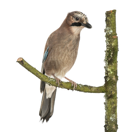 garrulus: Eurasian Jay perching on a branch, Garrulus glandarius, isolated on white Stock Photo