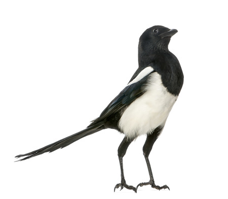 pica: Common Magpie upright looking up, Pica pica, isolated on white