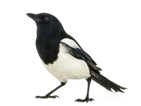 Common Magpie looking up, Pica pica, isolated on white photo