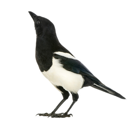 pica: Common Magpie looking up, Pica pica, isolated on white