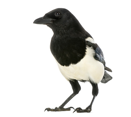 pica: Common Magpie, Pica pica, isolated on white Stock Photo