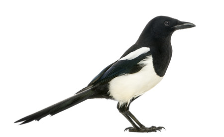 pica: Side view of a Common Magpie, Pica pica, isolated on white