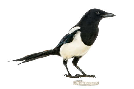 pica: Side view of a Common Magpie with a jewellery, Pica pica, isolated on white