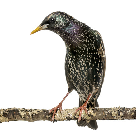 Common Starling perching on a branch, Sturnus vulgaris, isolated on white photo