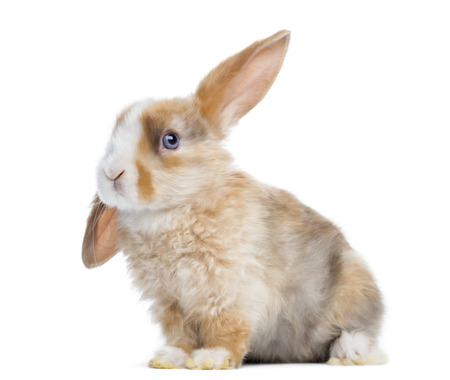 lop: Satin Mini Lop rabbit ear up, sitting isolated on white