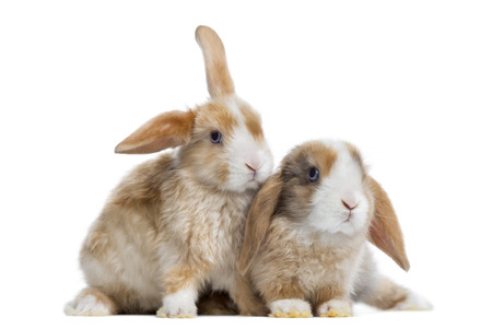 lop: Two Satin Mini Lop rabbits next to each other, isolated on white