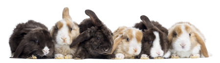lying down: Satin Mini Lop rabbits in a row, isolated on white
