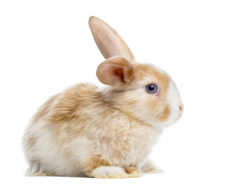 lop: Satin Mini Lop rabbit ear up, lying, isolated on white
