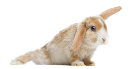 lop lop rabbit white: Satin Mini Lop rabbit in funny position, isolated on white