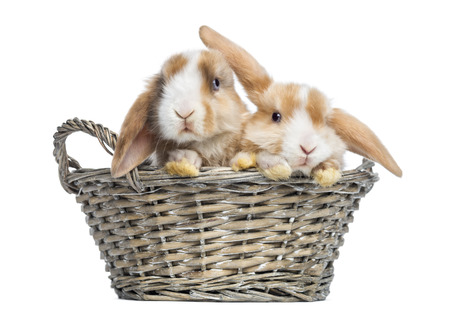 lop: Two Satin Mini Lop rabbits in a wicker basket, isolated on white