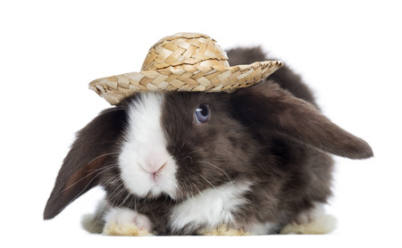 lop lop rabbit white: Satin Mini Lop rabbit facing with a straw hat, isolated on white