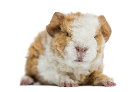 Baby Alapaca Guinea Pig, 1 day old, isolated on white photo