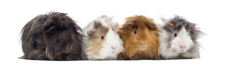 cavie: Quattro peruviani Guinea Pigs in una riga, isolato su bianco Archivio Fotografico