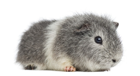 pig out: Swiss Teddy Guinea Pig, isolated on white Stock Photo