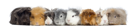 pig out: Guinea Pigs in a row, isolated on white
