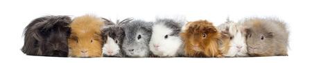 cavie: Guinea Pigs in una riga, isolato su bianco