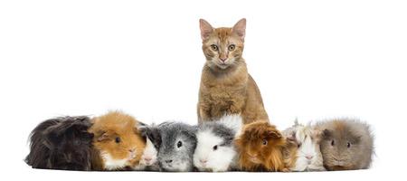 cavie: Guinea Pigs con un gatto in una riga, isolato su bianco