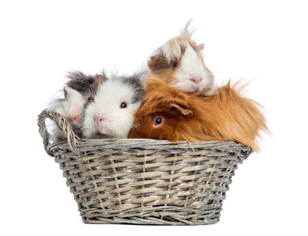 piled: Guinea Pigs piled up in a wicker basket, isolated on white Stock Photo