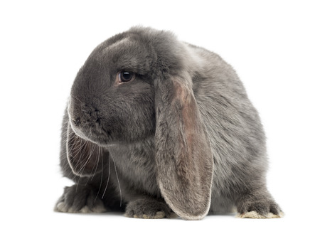 lop: French lop rabbit, isolated on white
