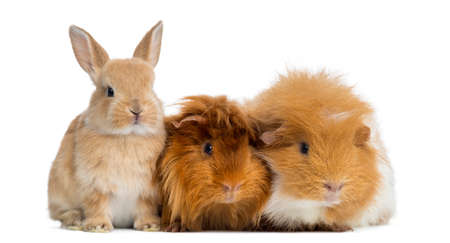 pig out: Dwarf rabbit and Guinea Pigs, isolated on white