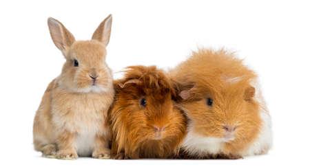 wit konijn: Dwerg konijn en cavia, geïsoleerd op wit Stockfoto