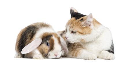 lop lop rabbit white: European shorthair and lop rabbit, isolated on white