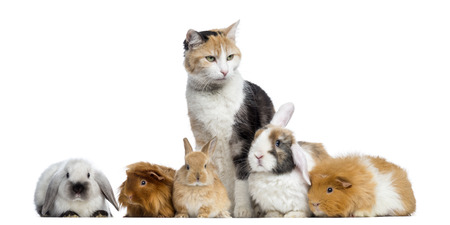 pig out: European shorthair with rabbits and Guinea pigs in a row, isolated on white Stock Photo