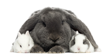 dissimilarity: Lop-eared rabbit and young rabbits, isolated on white
