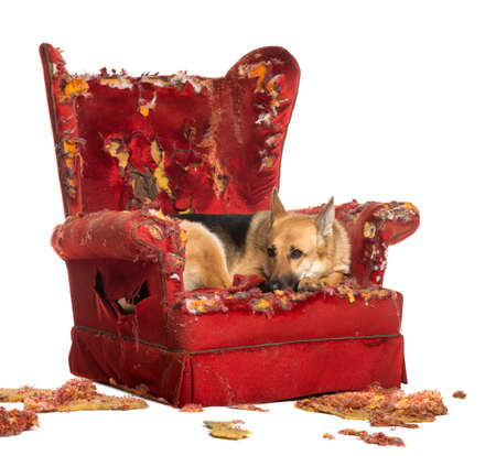 ruined: German Sheperd looking dipressed on a destroyed armchair, isolated on white