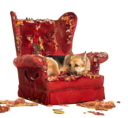 obediencia: German Sheperd mirando dipressed en un sillón destruido, aislado en blanco