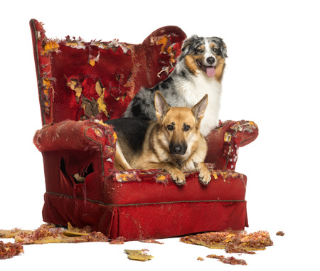 German and Australian Shepherd on a destroyed armchair, isolated on white photo
