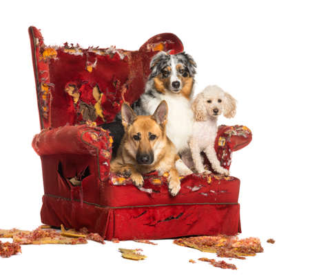German and Australian Shepherd and Poodle on a destroyed armchair, isolated on white photo