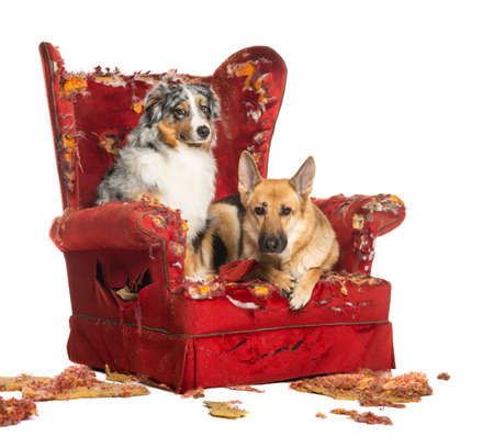 ruined: German and Australian Shepherd and Poodle on a destroyed armchair, isolated on white Stock Photo
