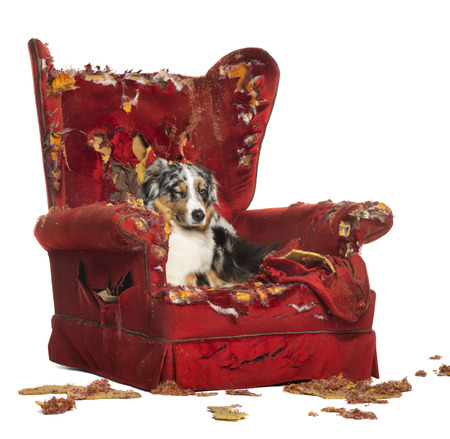 Australian Shepherd and Poodle on a destroyed armchair, isolated on white photo