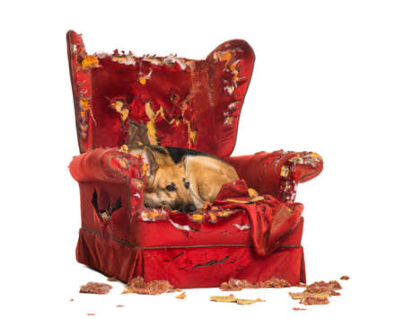 destroyed: German Sheperd looking dipressed on a destroyed armchair, isolated on white
