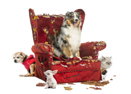 agressive: Group of pets on a destroyed armchair, isolated on white Stock Photo