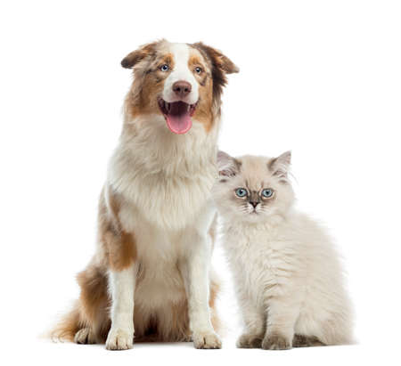 dog sitting: British Longhair kitten and Australian Shepherd sitting next to each other, isolated on white