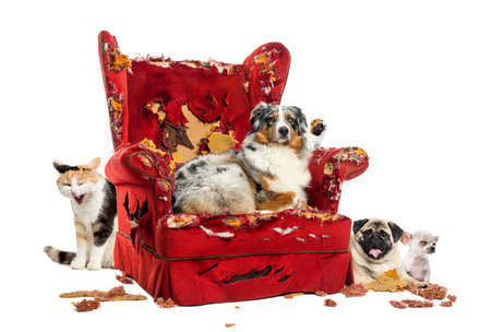 behavioral: Group of pets on a destroyed armchair, isolated on white Stock Photo