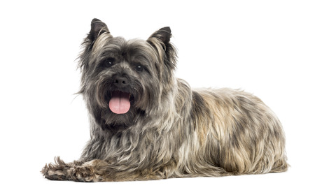 lying on side: Side view of a Cairn Terrier panting, isolated on white Stock Photo