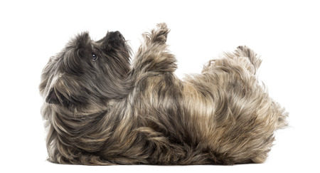 Side view of a Cairn Terrier lying on its back, submissive, isolated on white